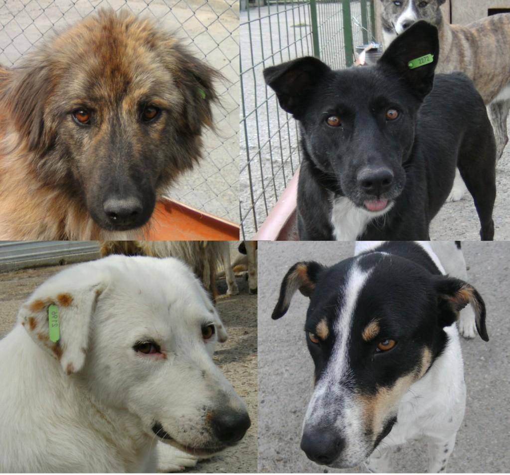 Här är några av de som utmärkte sig genom att anmäla sig som frivilliga på slabbidask och mys med morsan. Det är Ursu (som betyder Björn på rumänska), Daisy, Vicky och Albus. Morsan säger att jag är den smartaste hund hon träffat till hon träffade Albus - det tycker jag är tjallo.