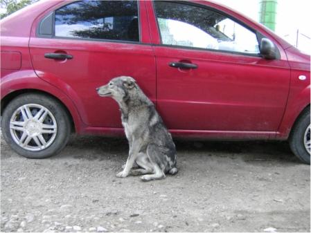 En av de fritt strövande hundarna utanför hägnet i Cernavoda, en mycket rar men lite blyg tik.