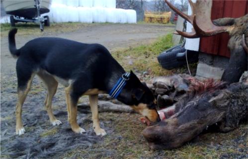Kolla najsa smasko-volante här asså! Och Cobran ger upp efter en stund och ägnar sig åt fåren. What!? Snacka bortskämd tapirnäsa.