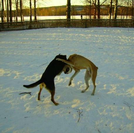 Jag & Cobran förra vintern, här går vi rond tre innan trädet knockar mig och jag svimmar. Jag vill utmana både Cobran och Tvättbjörnen imorgon - åtta år, enögd och hemsökt av en labrador - vem bryr sig!?