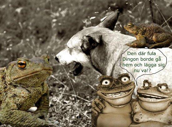 Minns ni det här? Augusti 2009: Chocktränad Dingo i Paddparad utvecklade mental paddresistens.