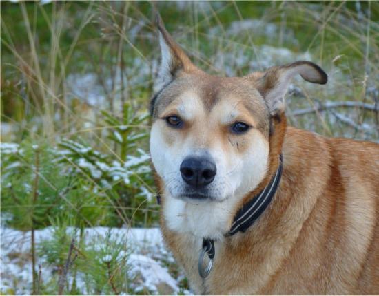 Jag gav morsan en sympatisk men menande blick och förklarade att det här spårar ur som vanligt - jag vill gå hem nu. Att både brottas och titta på när Cobran leker ned älgkulor det är mer än vad en kunglig dingo ska behöva stå ut med.