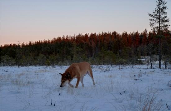 Där går jag likt dingon på Frostmofjället och letar köttbullsspån medan tassarna domnar bort.