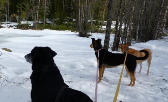 Vem är längst bort här till exempel och syns sämst. Jo jag. Vi stannade och tittade på några fula stora skränande pippisar som låg på sjön där isen var öppen.