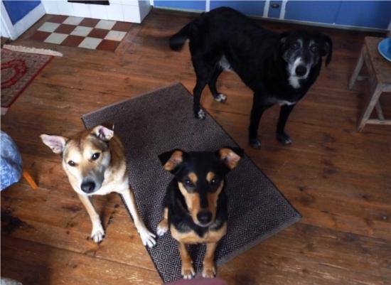 Max håller sig helst lite i bakgrunden när jag är med. Jag tror han vill bli upptagen till Gula hundarnas. Tror att Lilla Benet tycker det är ok, de kommer ju från Calarasi båda två.