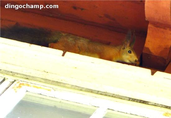 Här sitter han och väntar på att morsan ska öppna fönstret och bjuda på ägg. Fattar inte hur han kan få så stora portioner medan jag får gå runt med kroniska hungersmärtor.