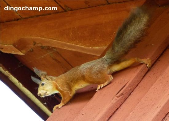 Sen pinnar han iväg upp på vindsvåningen för att smaska vidare och plundra svalbon. Igår blev han osams med en mås som satt på taknocken och trillade ner på marken från flera meters höjd. Det är därför morso gärna vill att han ska få en större mage att landa på som stötdämpning så han inte får några frakturer om det händer igen. Jag undrar om inte jag ska börja kasta mig ned från taket på hundkojan lite oftare och gallskrika så kanske även jag kan få stötdämpande åtgärder.