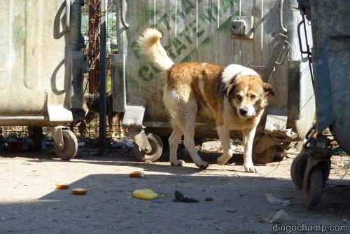 En kvartershund i Sighet som hittar frukost vid sopstationen i marssolen.
