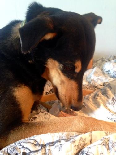 Efter idoga försök att få Cobran att äta glassen på golvet fick morso ge med sig och låta Styggo-Snyggo draka sig och ruva på sin tonfisk som långsamt smälte. Doften höll i sig i mitt residens i timtal - underbart!