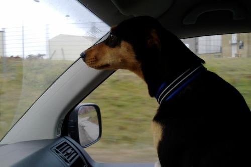 Cobran försöker alltid sno åt sig bästa platsen i bilen så hon kan sitta och kommentera sånt vi åker förbi. Hon är uppmärksam och pratar oavbrutet.