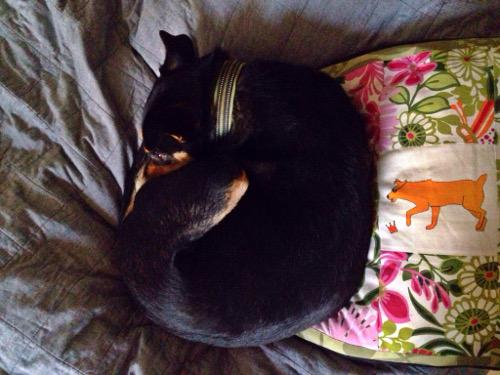 Cobran snuttar och är snäll på min kudde.