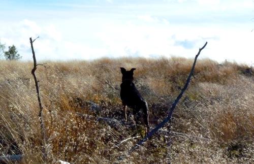 Stygg som en afrikansk vildhund står hon blick stilla och fångar alert upp ljudet från varje vajande grässtrå på den Kalländska stäppen.